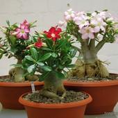 Адениум( Роза пустыни) (фото 2)
