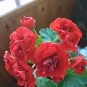 Пеларгония розебудная Leufsta