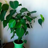 Фикус священный Эдем или дерево Будды. Семена